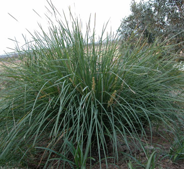 How to best prune strappy leaf plants thus if it is on a high profile site use fertiliser if a roadside fertilise at time of planting altavistaventures Choice Image