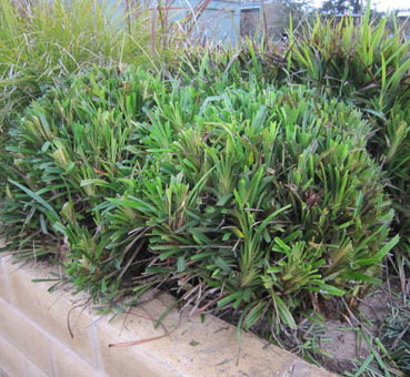 How to best prune strappy leaf plants thecheapjerseys Image collections