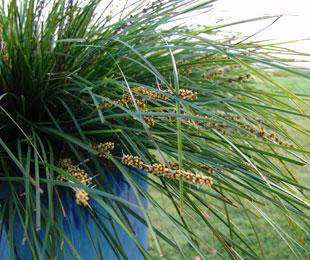 Tanika® Lomandra longfolia ' PBR 100mm
