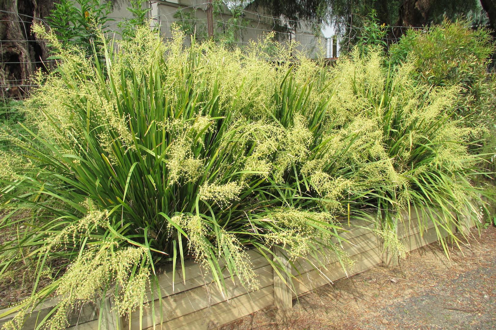 Lomandras For Queensland