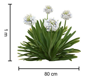 Cloudy Days Agapanthus Growing Guide