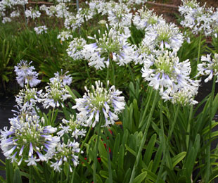 Cloudy Days Agapanthus by Ozbreed