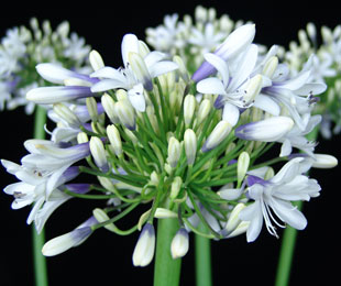 Cloudy Days Agapanthus