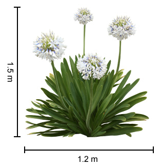 Growing Guide for the Queen Mum Agapanthus