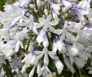 Queen Mum Agapanthus by Ozbreed has white / blue flowers