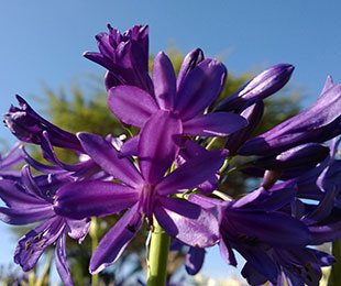 Sugar Plum Agapanthus by Ozbreed