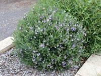 Blue Gem Westringia Plants by Ozbreed