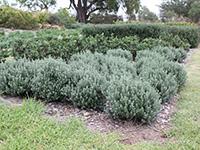 Grey Box Westringia Plants by Ozbreed