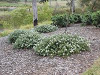 Low Horizon Westringia Plants by Ozbreed