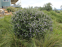 Naringa Westringia Plants by Ozbreed