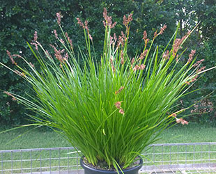Twilight Green Lepidosperma plant has dark green foliage