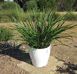 Twilight Green Lepidosperma