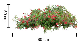 Cherry Cluster Grevillea Growing Guide