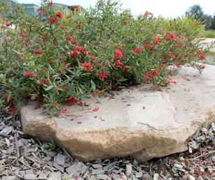 Cherry Cluster Grevillea