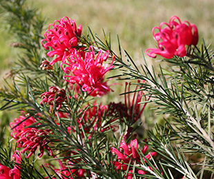 Crimson Villea Grevillea by Ozbreed