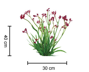 Ruby Velvet Kangaroo Paw Growing Guide