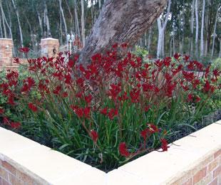 Ruby Velvet Kangaroo Paw