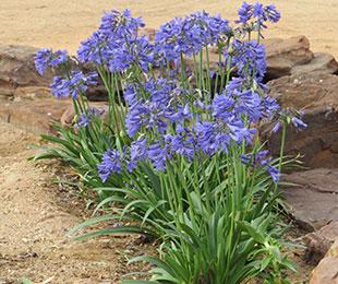 Bingo Blue Agapanthus Repeat Flowers Hardy Exotic Range