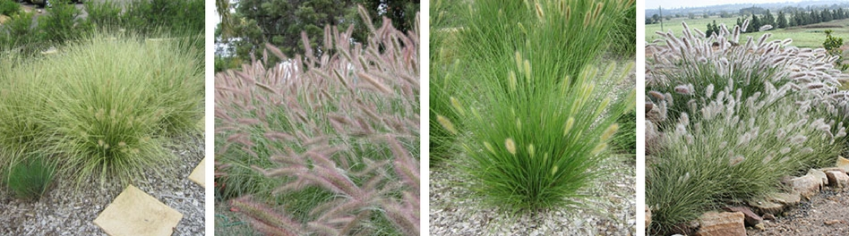 Ozbreed Australian Native Grasses