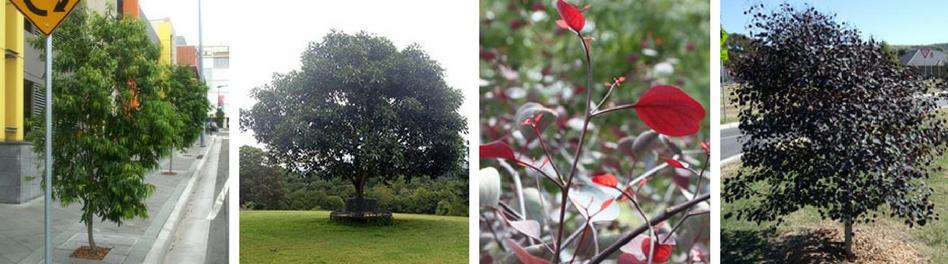Ozbreed Australian Native Trees