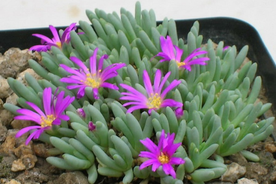 Succulents that Flower - Delosperma