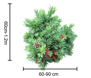 Better John™ Callistemon Plant Height Guide