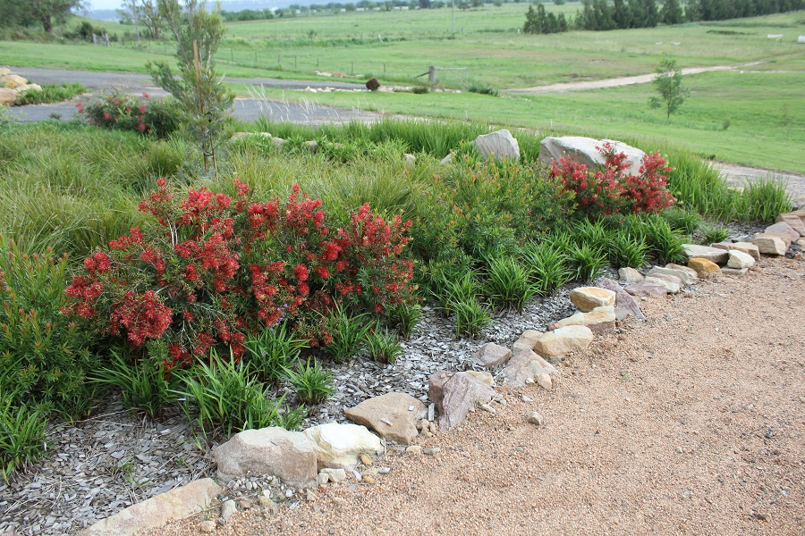 Flora Burst™ Callistemon viminalis will produce a stunning display of beautiful red flowers in spring