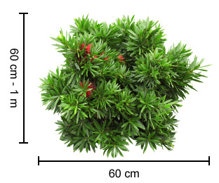 Green John™ Callistemon Plant Height Guide