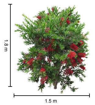 Macarthur™ Callistemon Plant Height Guide