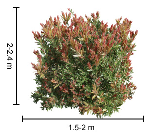 Red Alert™ Callistemon Plant Height Guide