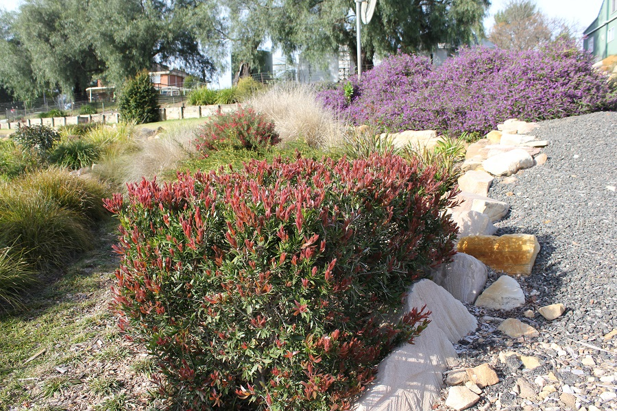 Red Alert™ Callistemon viminalis is another great choice for either hedging or as a specimen shrub