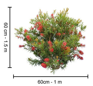 Scarlet Flame™ Callistemon Plant Height Guide