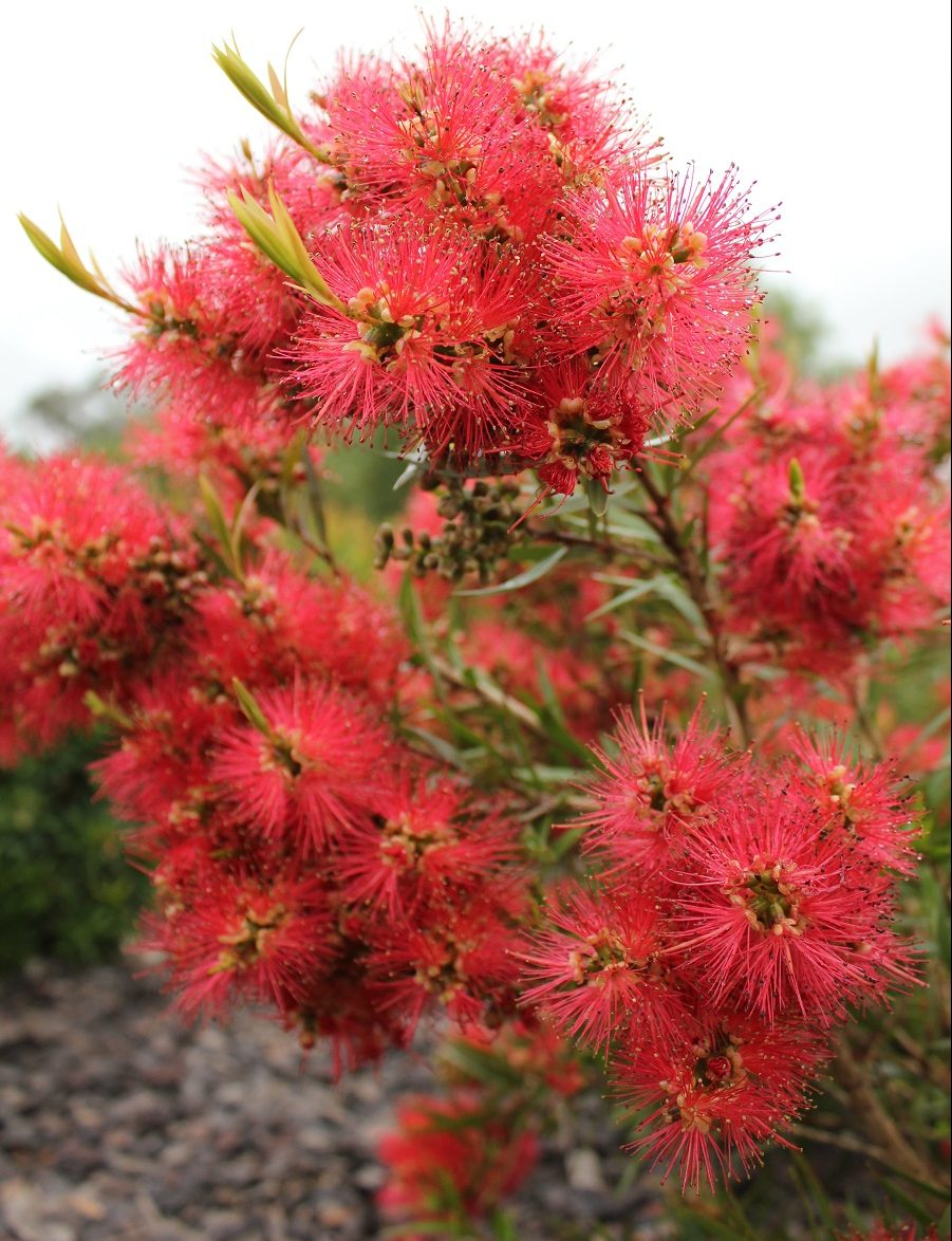 Scarlet Flame™ Callistemon work perfectly as small to medium sized shrubs