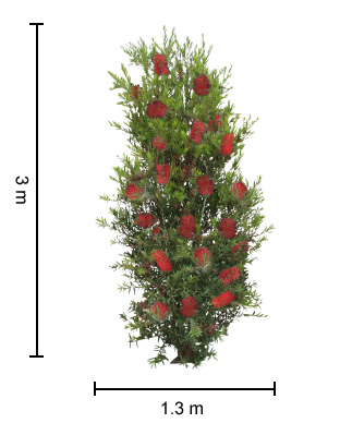 Slim™ Callistemon Tree Height Guide