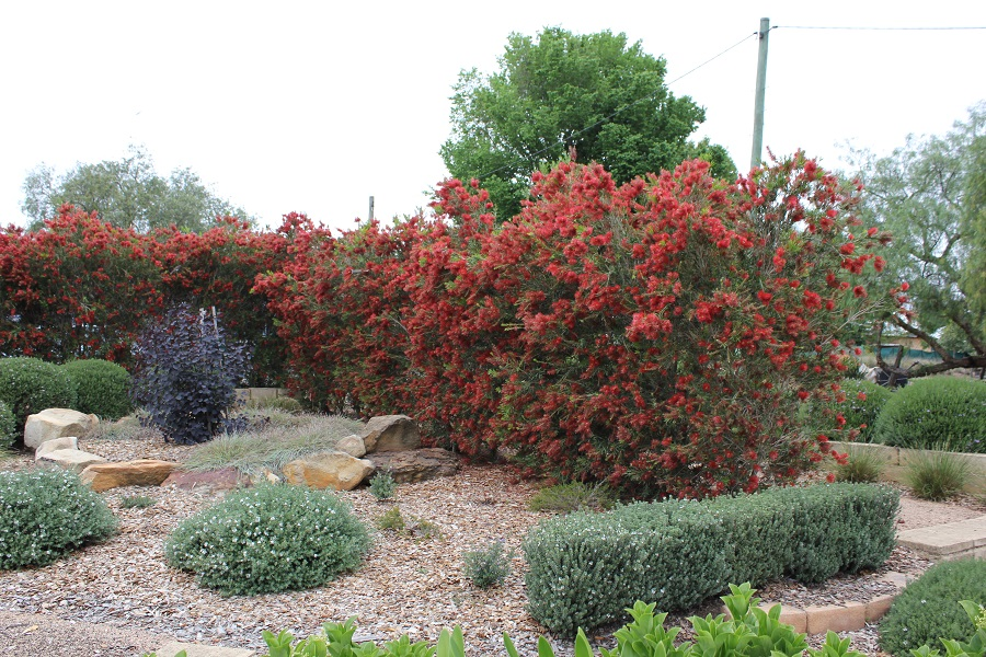 Slim™ Callistemon viminalis are a perfect choice for hedging especially in those tight, narrow spaces