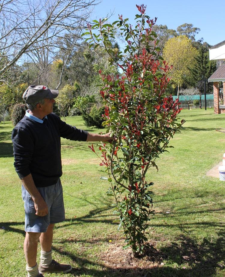 Photinia Trees