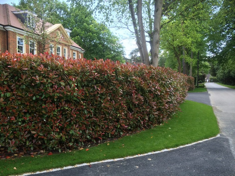 Photinia make great hedges for privacy and shelter