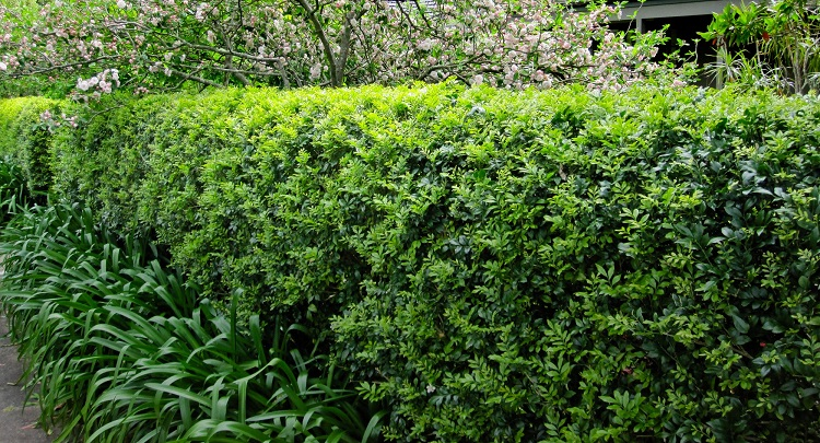 Regular light pruning is one regular maintenance task that you will want to do to keep your Murraya hedge looking its best