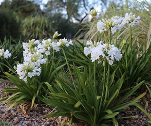 Bingo White Agapanthus Bright White Flowers Hardy Exotic Range