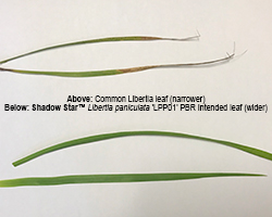 Shadow Star™ Libertia has a wider leaf