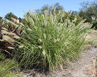 Cream Lea Pennisetum alopecuroides