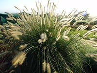 Cream Lea® Pennisetum alopecuroides