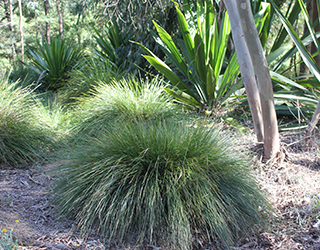Pacific Sky™ Lomandra dense and ground hugging