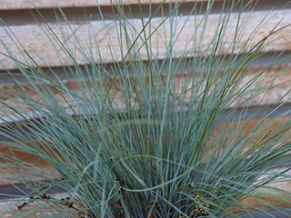 Pacific Sky™ Lomandra has stunning arching blue foliage