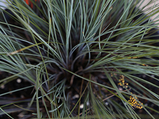 Pacific Sky™ Lomandra produces yellow perfumed flowers