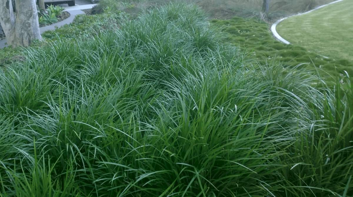 Liriope is a family of strappy evergreen perennial plants