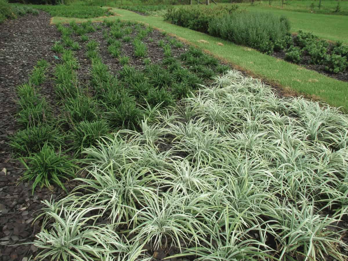 Liriopes are hardy low maintenance plants