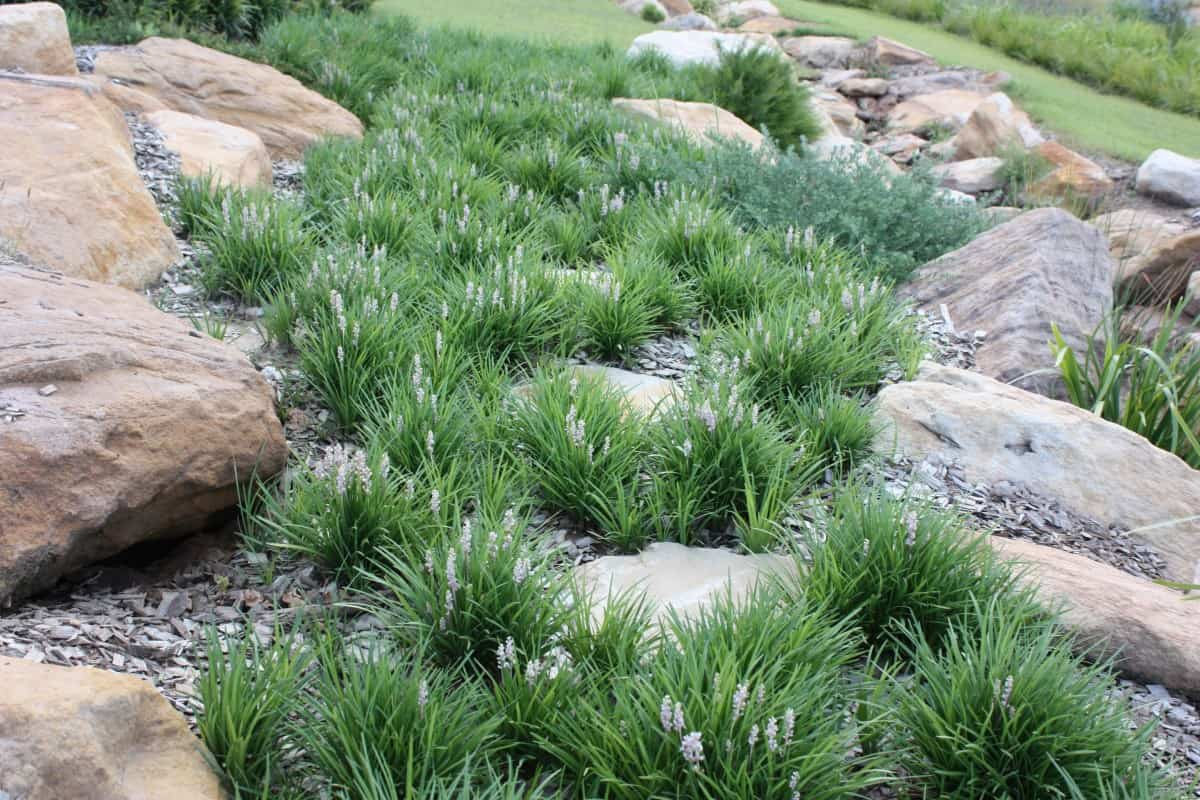 The compact weeping form and rapid growth rates of Liriopes makes them ideal for groundcover plants