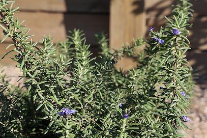 Robusto Rosemary