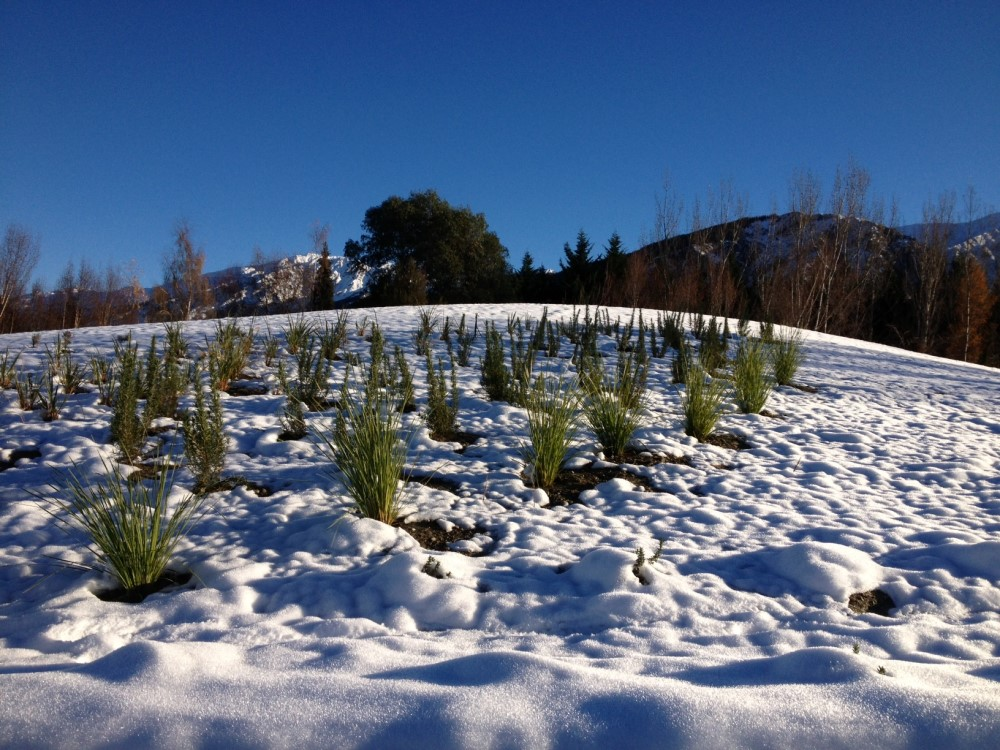 Cold tolerance trial on Lomandras in New Zealand snow